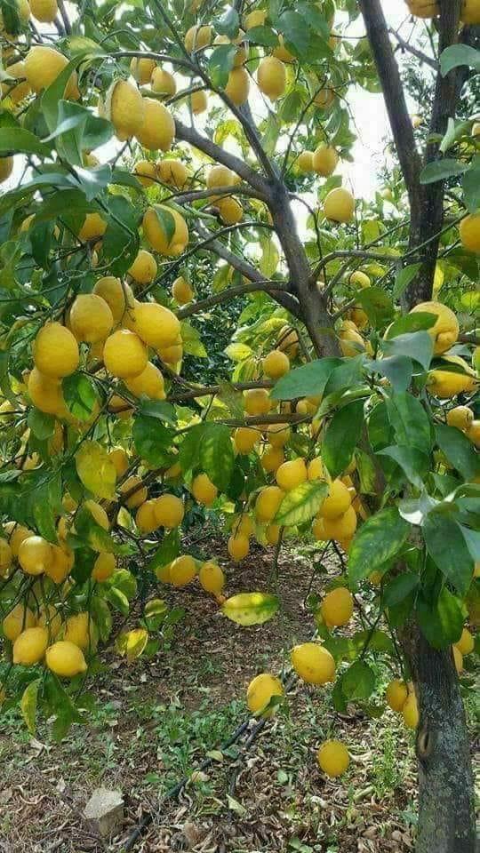 Limonun faydası
