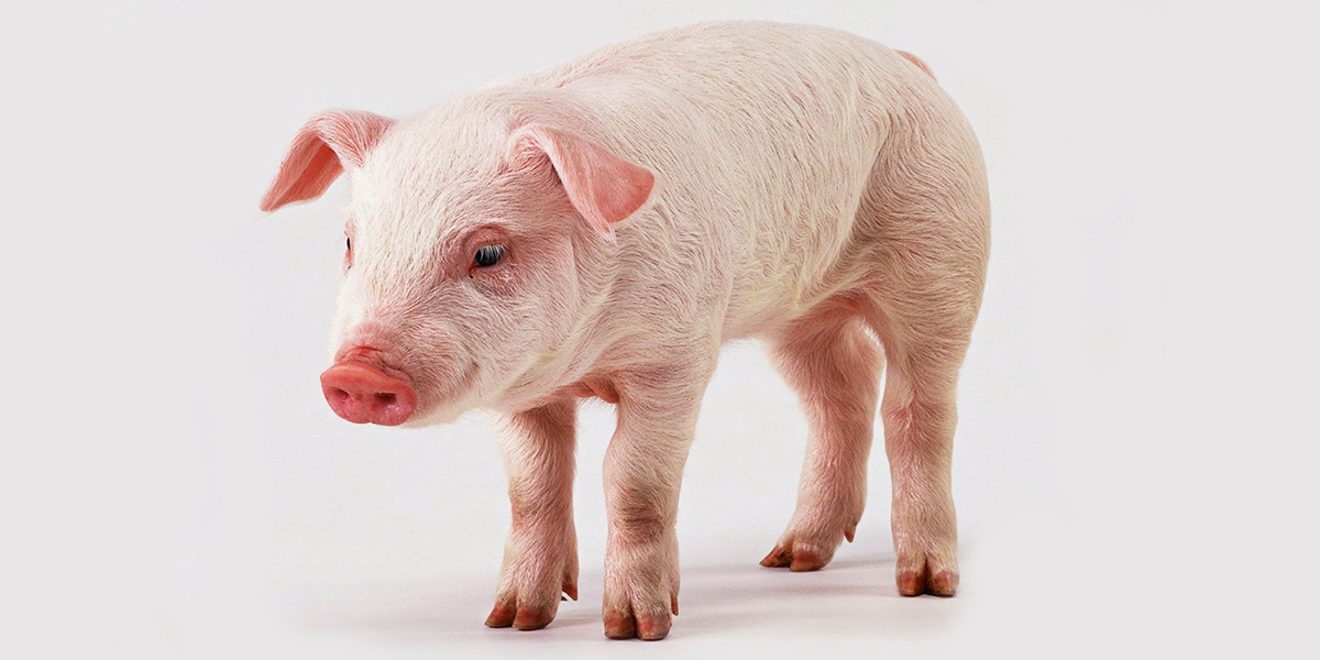 Domuz eti satın alan firmalar